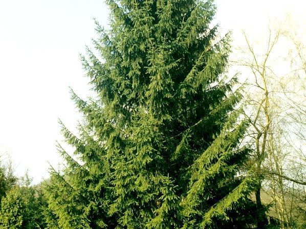 Sapin Planter Et Tailler Ooreka