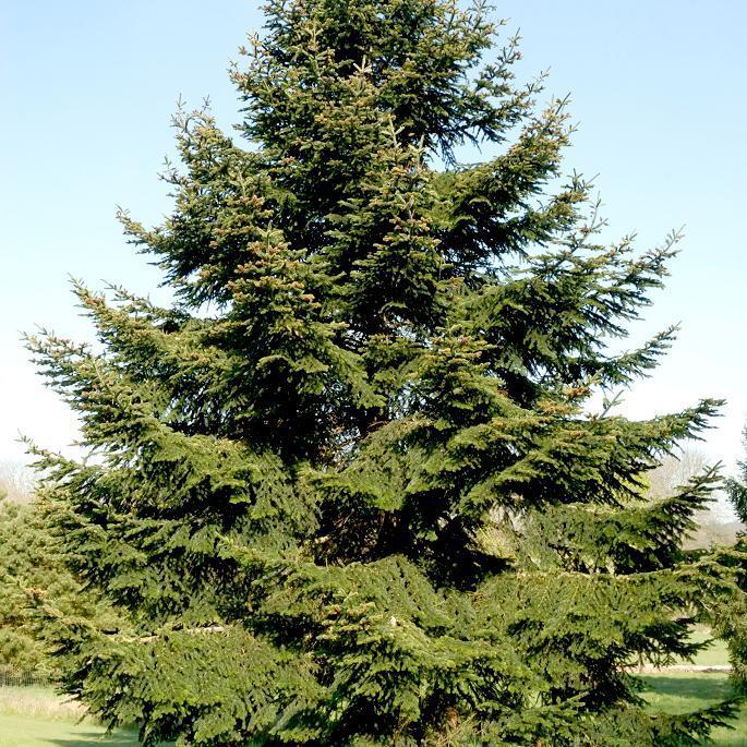 Grandes variétés Sapin du Caucase (Abies nordmanniana)