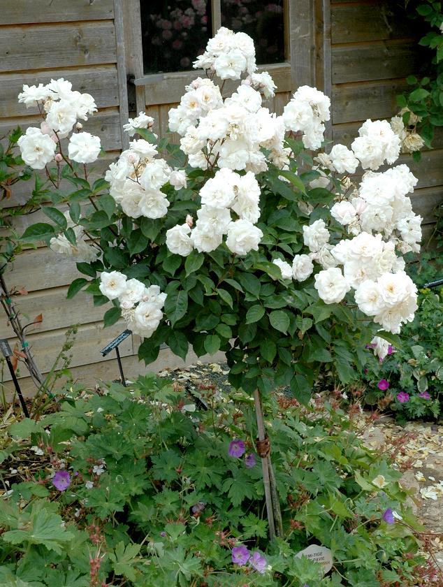 Rosier tige et rosier pleureur : planter et tailler - Ooreka