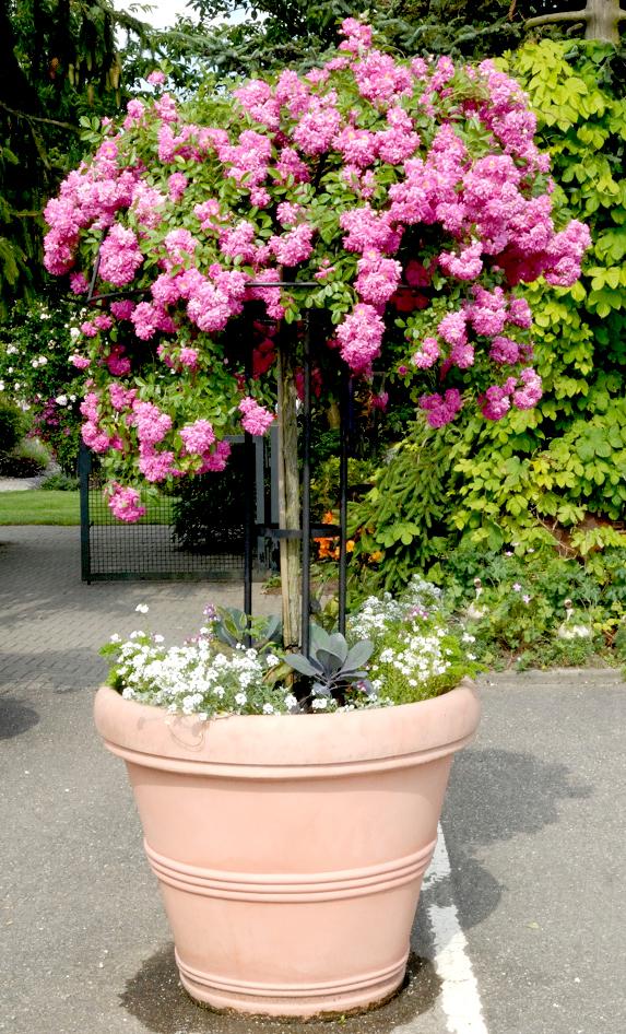 Rosier tige et rosier pleureur planter et tailler ooreka for Arbuste en pot pour terrasse
