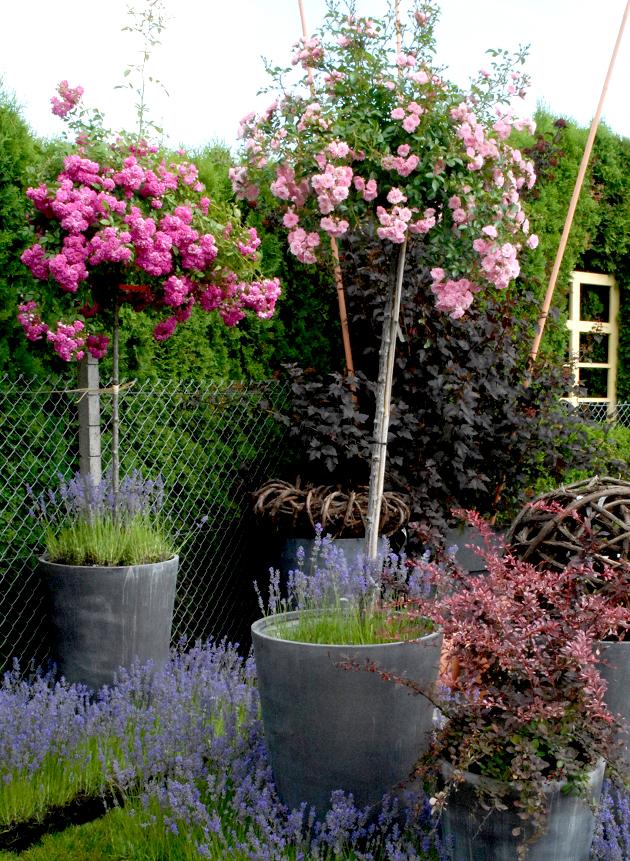 Rosier tige et rosier pleureur planter et tailler ooreka - Quand tailler les rosiers buisson ...