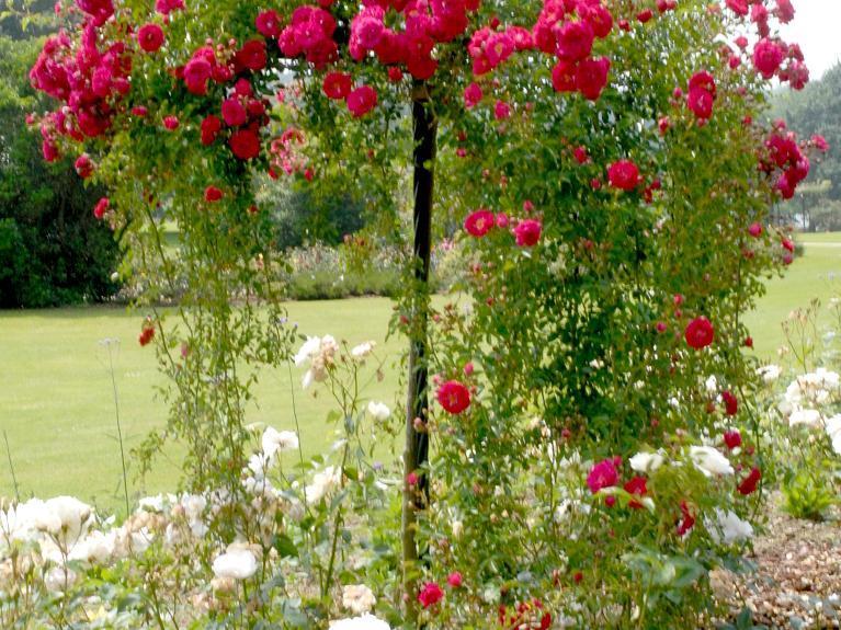 rosier tige et rosier pleureur planter et tailler ooreka. Black Bedroom Furniture Sets. Home Design Ideas