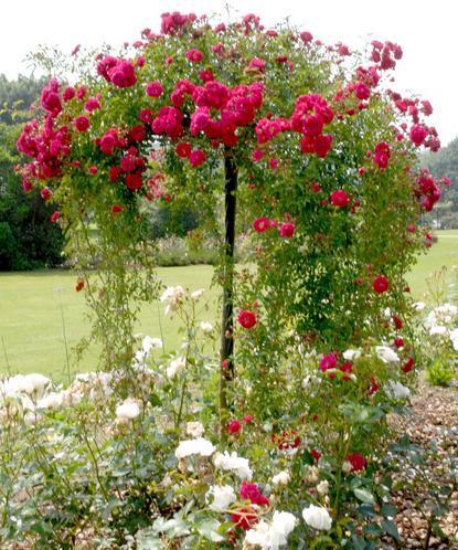 Rosier tige et rosier pleureur planter et tailler comprendrechoisir - Tailler un rosier grimpant ...