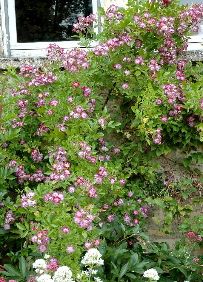 Rosier tige et rosier pleureur planter et tailler ooreka - Quand couper les rosiers ...