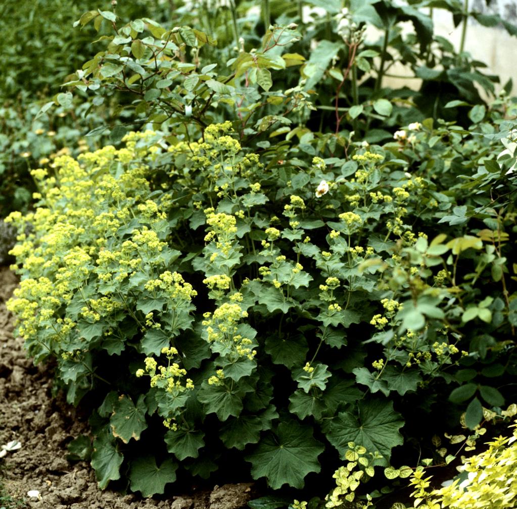 Alch mille planter et cultiver ooreka for Plante haute