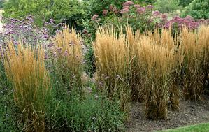 Semis et plantation du calamagrostis