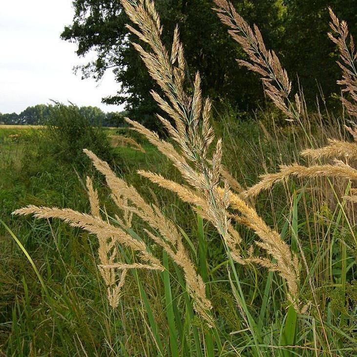 Autres espèces Calamagrostis commun ou roseau des bois (Calamagrostis epigejos)