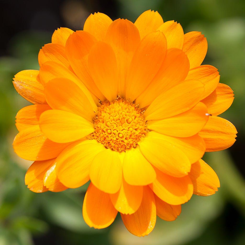 """Résultat de recherche d'images pour """"souci fleur"""""""
