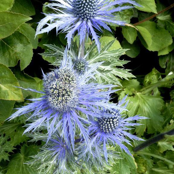 Variétés petites et naines Eryngium alpinum 'Bleu Star'
