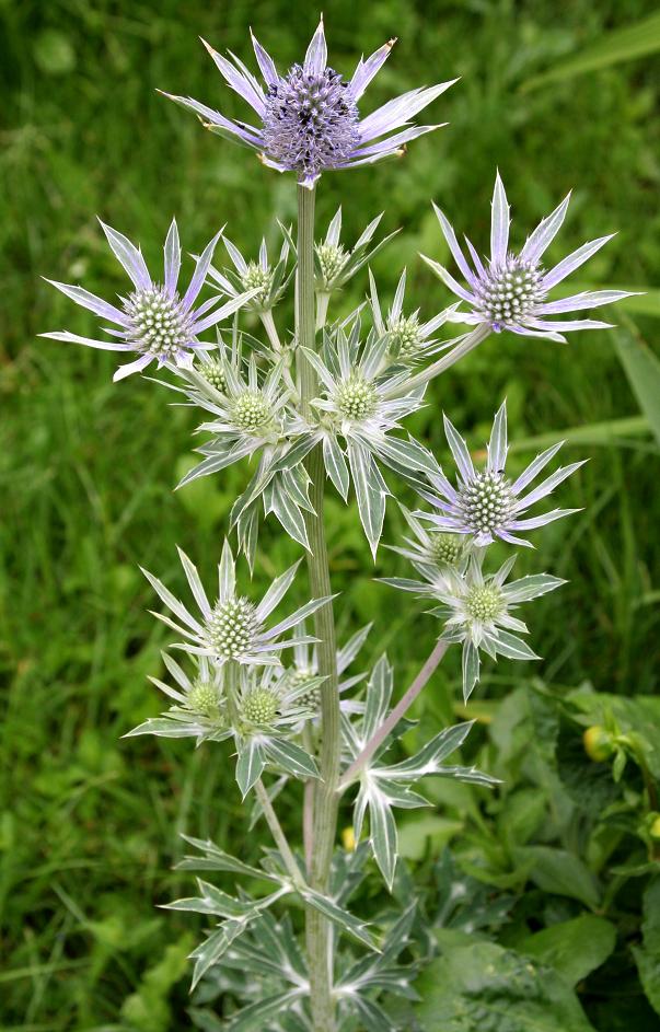 Fleur-Eryngium Planum-Bleu Hobbit 5 graines