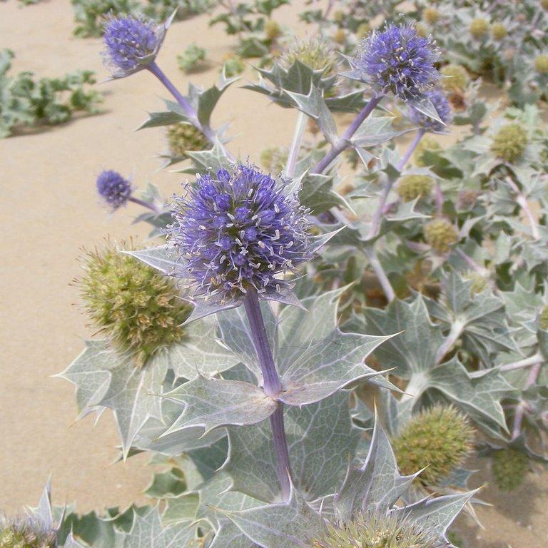 Variétés de taille moyenne Chardon bleu maritime (Eryngium maritimum)