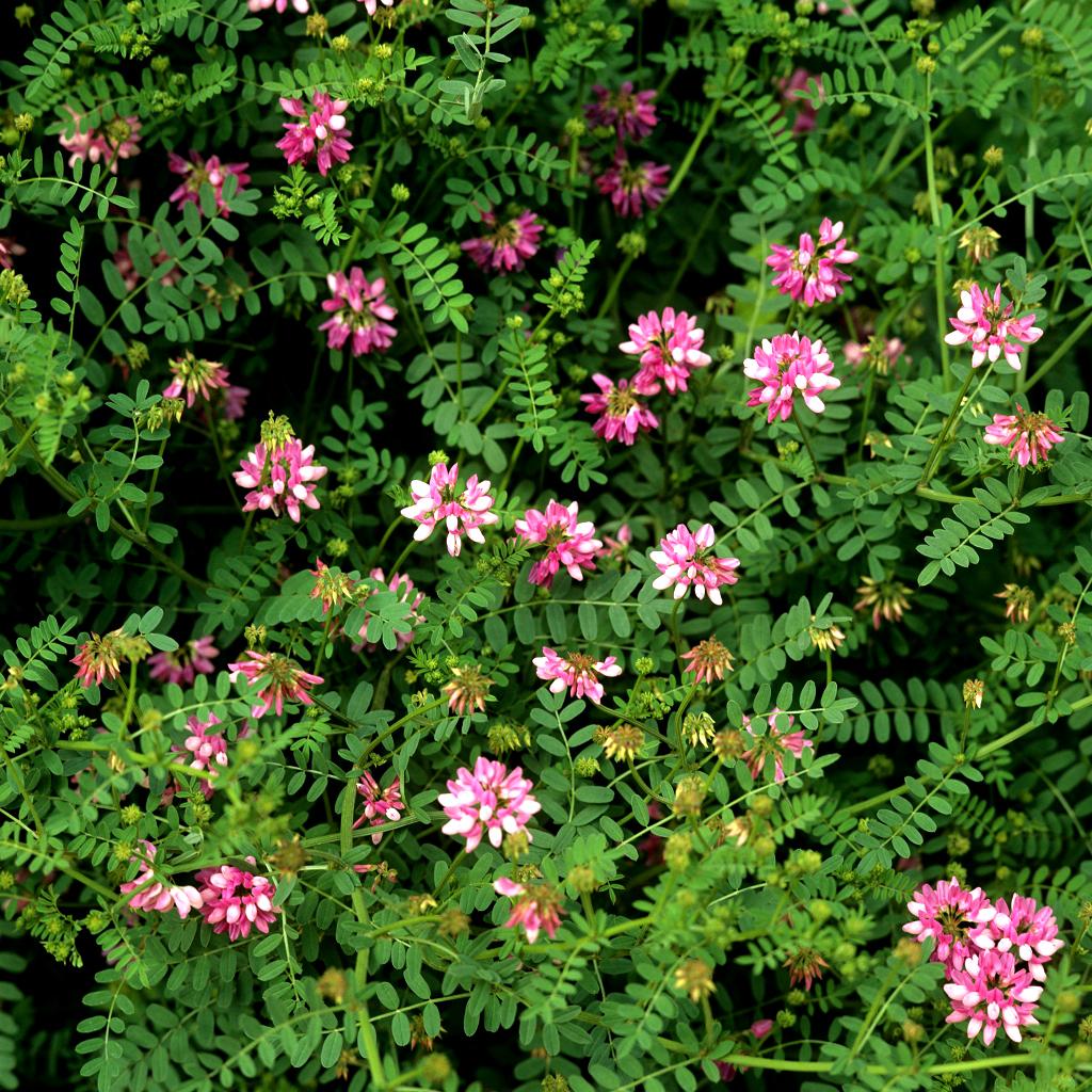 Coronille planter et cultiver ooreka - Variete de pommier rustique ...