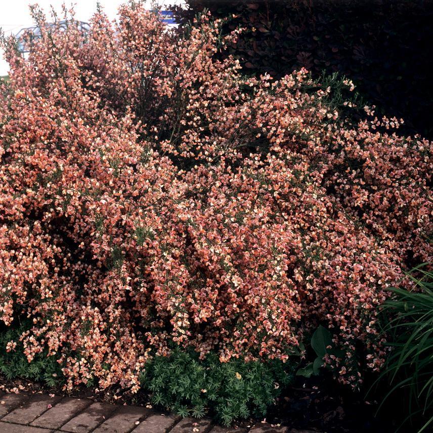 Variétés arbustives Cytisus scoparius 'Lena'
