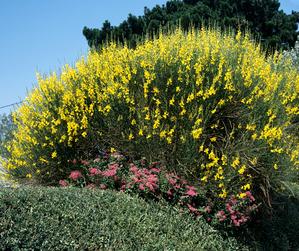 Semis et plantation des genêts d'Espagne