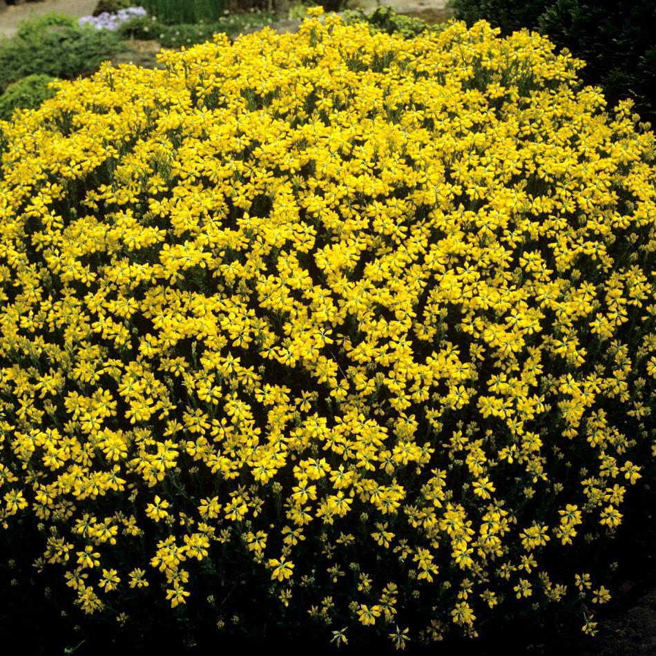 Variétés étalées ou naines Genêt d'Espagne (Genista hispanica)