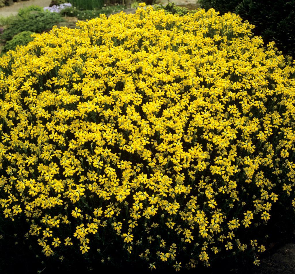 Genista planter et cultiver des genistas - Plante a fleur jaune 6 lettres ...