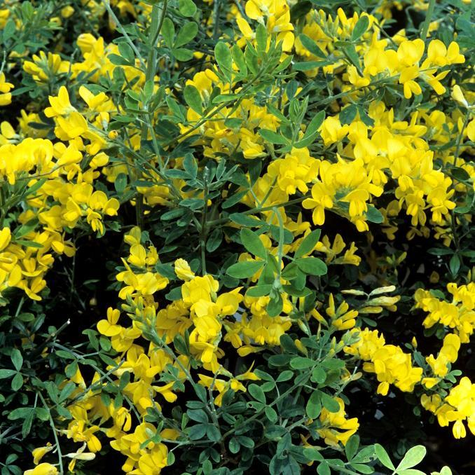 Variétés dressées Genista x spachiana ou racemosus