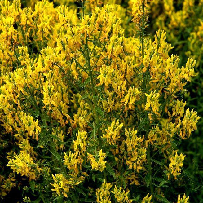 Variétés dressées Genêt des teinturiers (Genista tinctoria 'Royal Gold')