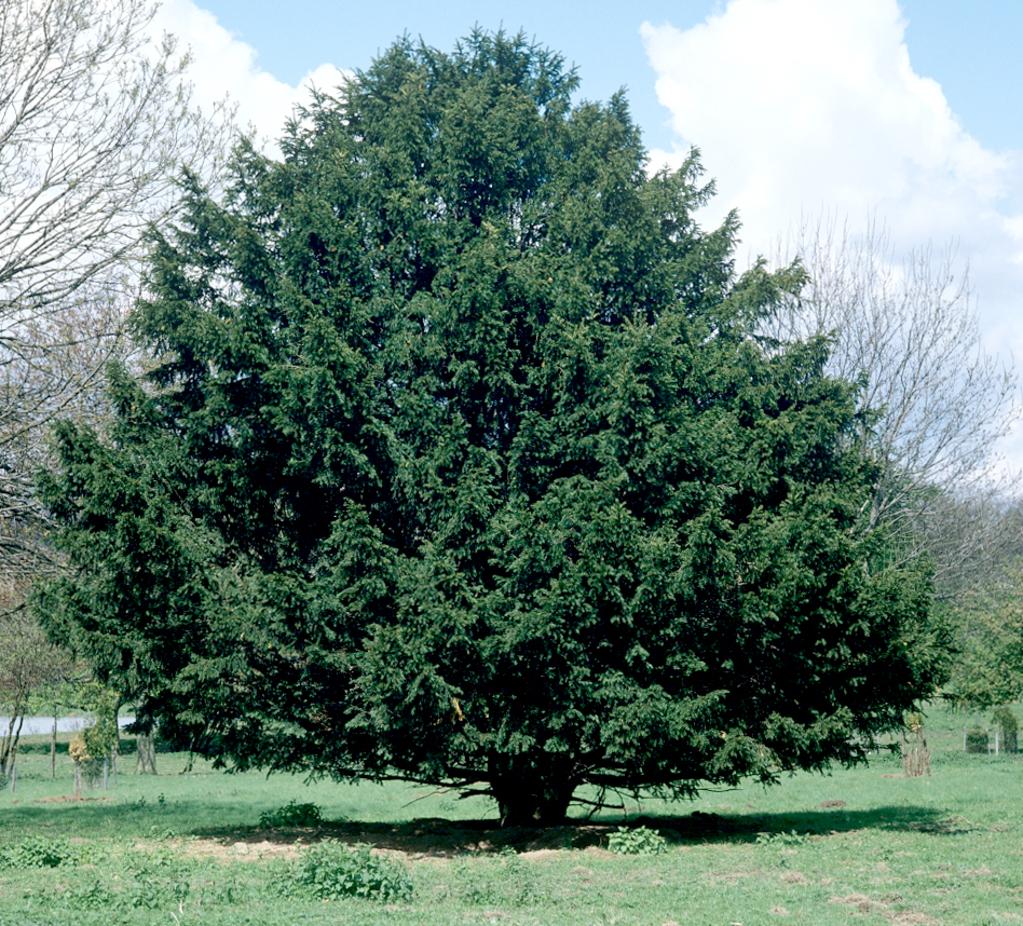 If planter et tailler ooreka - Faut il tailler un citronnier ...