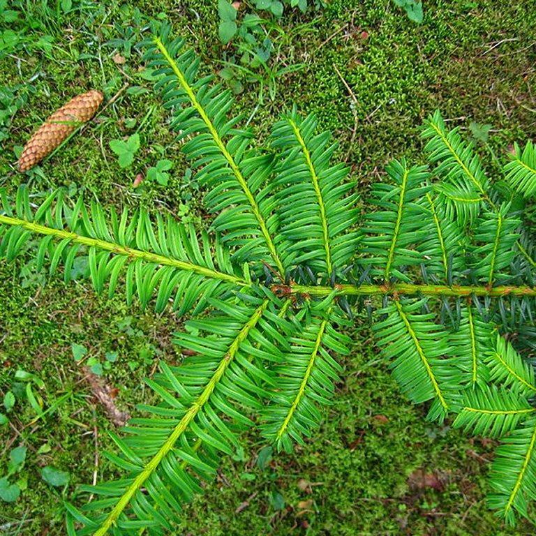 Variétés rampantes ou à port étalé Taxus baccata 'Summergold'