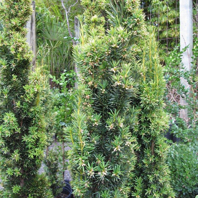 Variétés colonaires Taxus baccata 'Fastigiata Aurea'