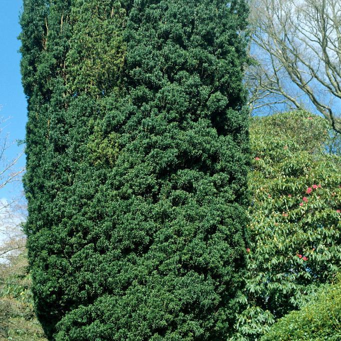 Variétés colonaires Taxus baccata 'Fastigiata'