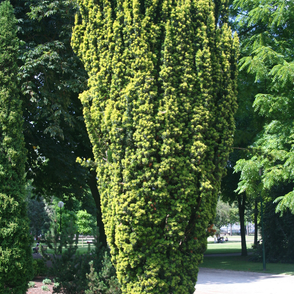 Variétés colonaires Taxus baccata 'Fastigiata Robusta'