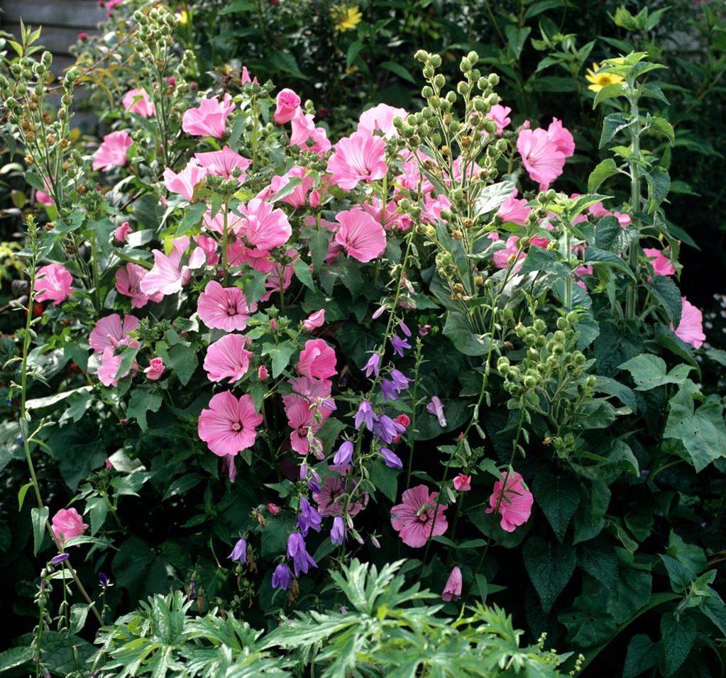 Lavat re annuelle planter et cultiver ooreka - Pensee fleur vivace ou annuelle ...