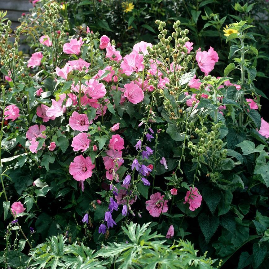 Lavat re annuelle planter et cultiver ooreka for Plante 60 80