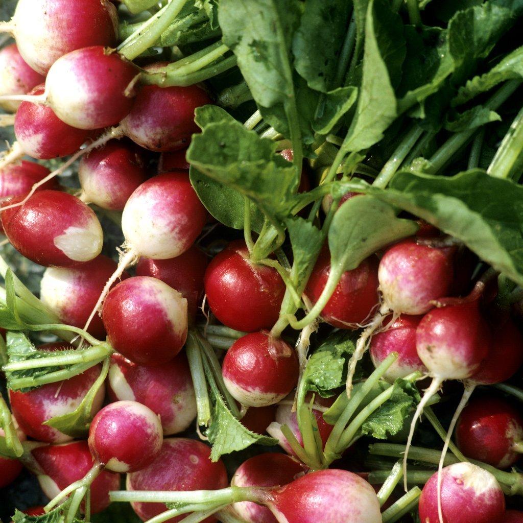 Radis semer et planter ooreka - Cuisiner les radis roses ...