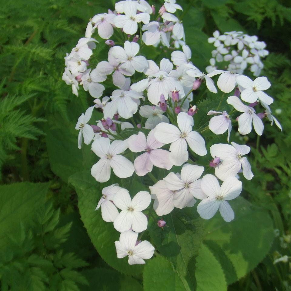 Autres espèces voisines de Lunaria Monnaie de Pape vivace (Lunaria rediviva)