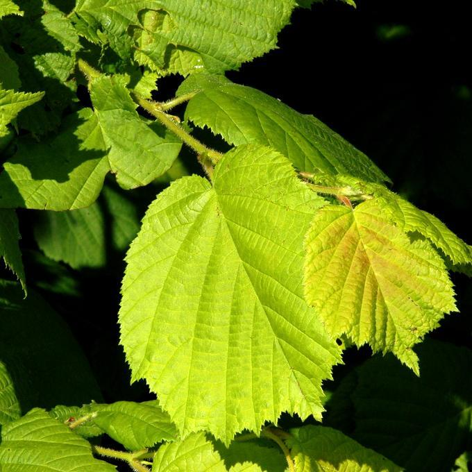 Noisetier commun, coudrier (Corylus avellana) Noisetier doré (Corylus avellana 'Aurea')