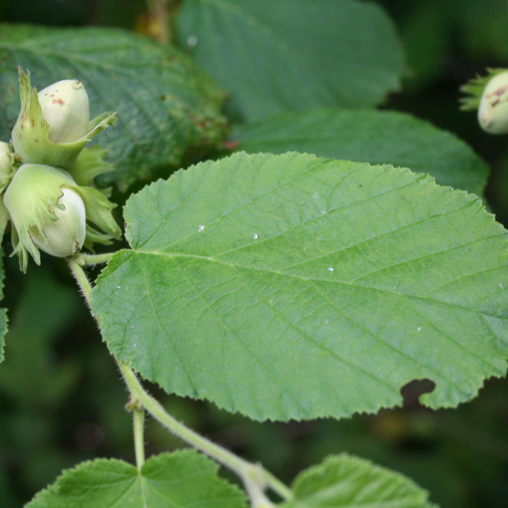 Noisetier commun, coudrier (Corylus avellana) Espèce type