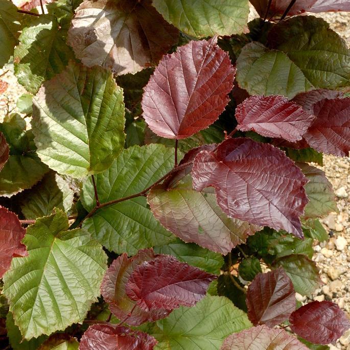 Noisetier franc, noisetier de Lombardie (Corylus maxima) Noisetier pourpre (Corylus maxima 'Purpurea')