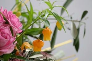 Culture et entretien du sandersonia
