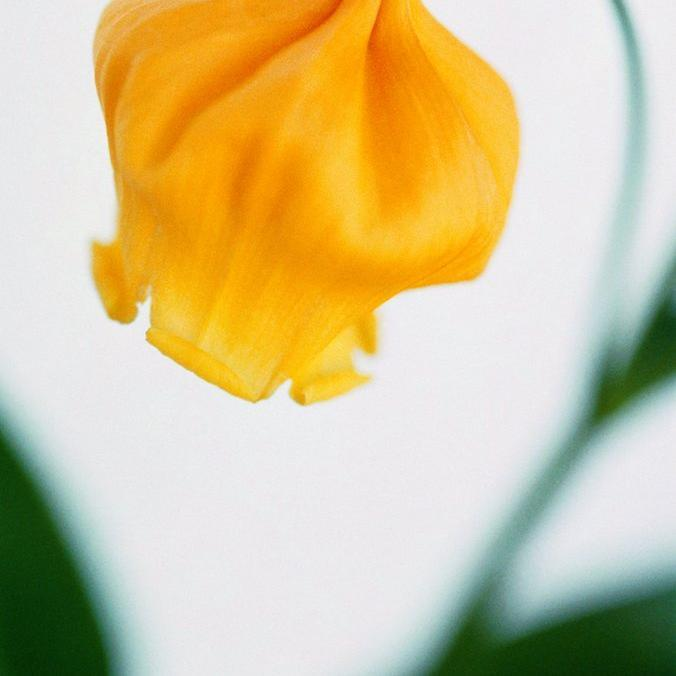 Sandersonia aurantiaca