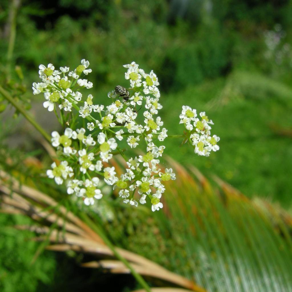 Chaerophyllum bulbosum