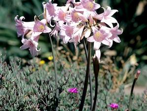 Amaryllis planter et cultiver les amaryllis for Amaryllis ne fleurit pas
