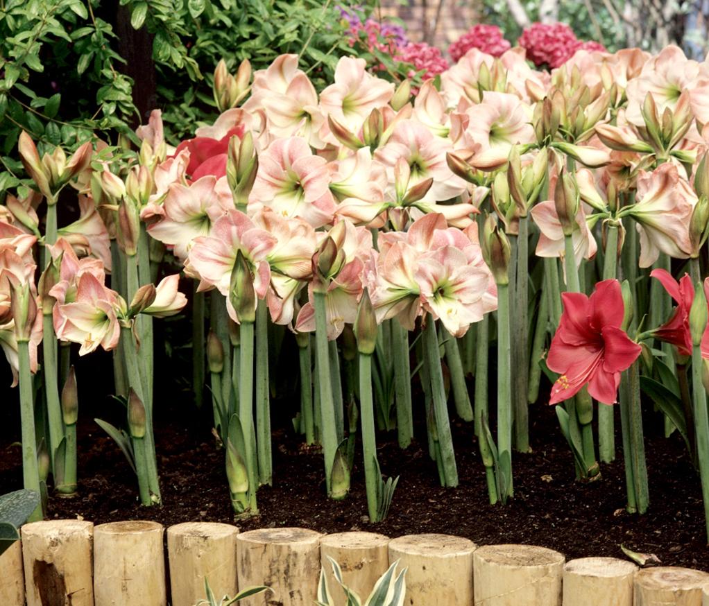 Amaryllis planter et cultiver les amaryllis for Planter des amaryllis