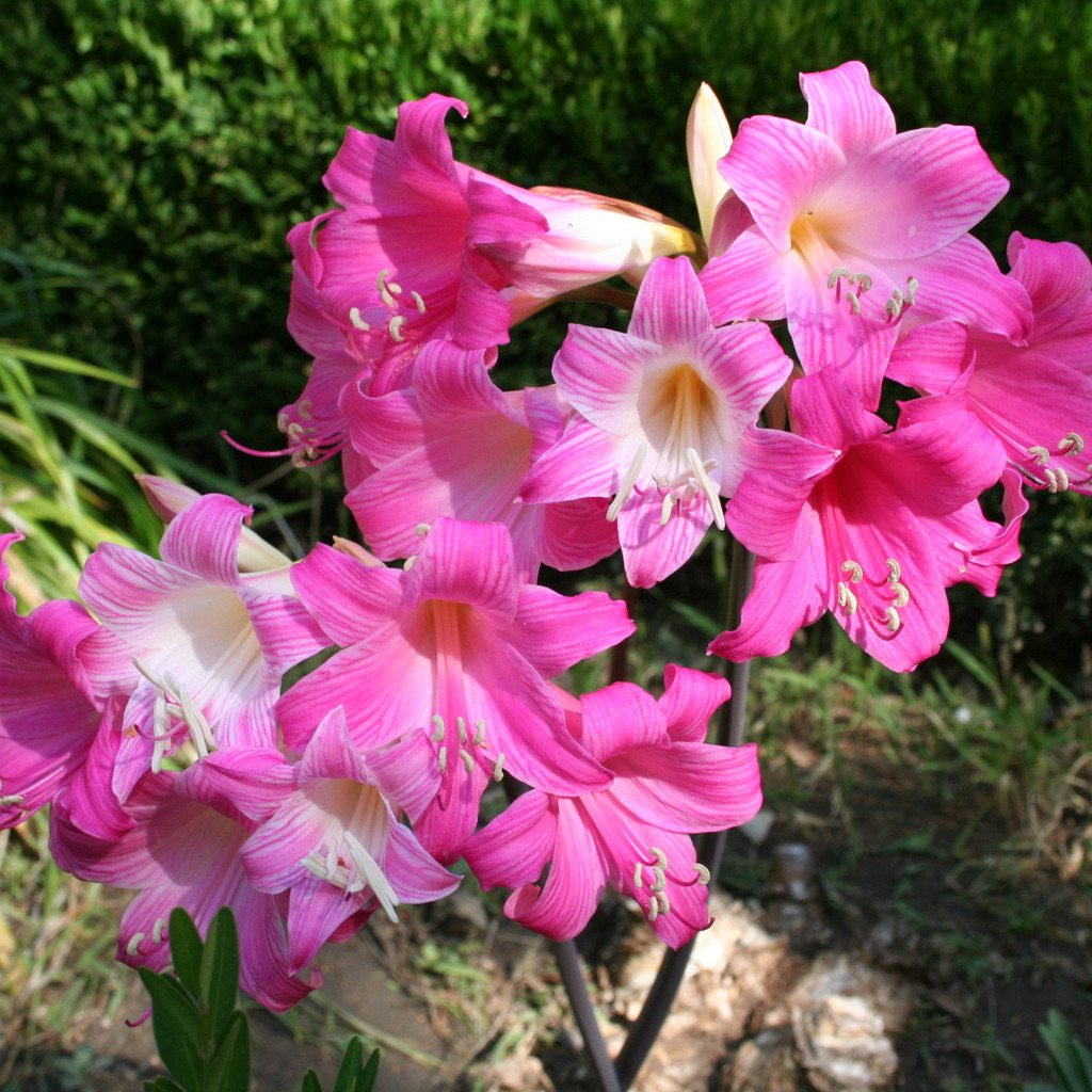 Amaryllis, lis Belladone, Belle Dame, lis de Jersey (Amaryllis belladonna) 'Johannesburg'