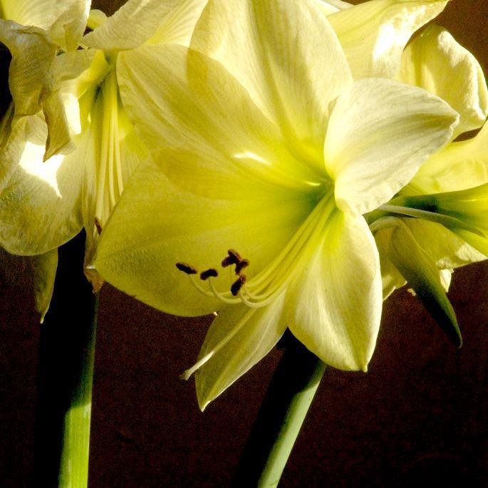Amaryllis, lis Belladone, Belle Dame, lis de Jersey (Amaryllis belladonna) 'Lemon Star'