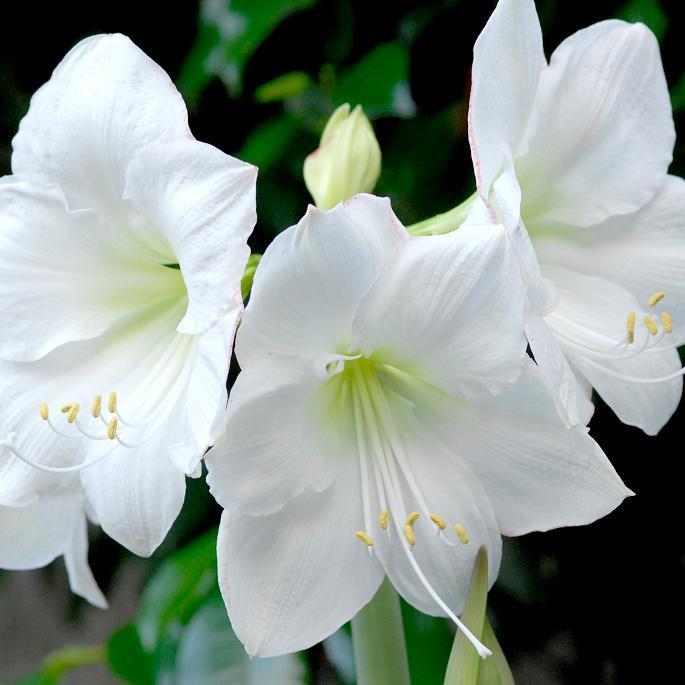 Amaryllis planter et cultiver les amaryllis for Amaryllis exterieur