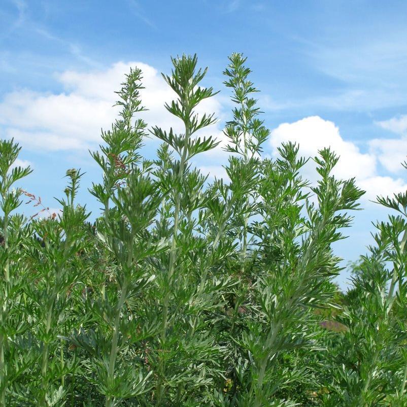 Espèces à feuillage persistant Absinthe (Artemisia absinthium)