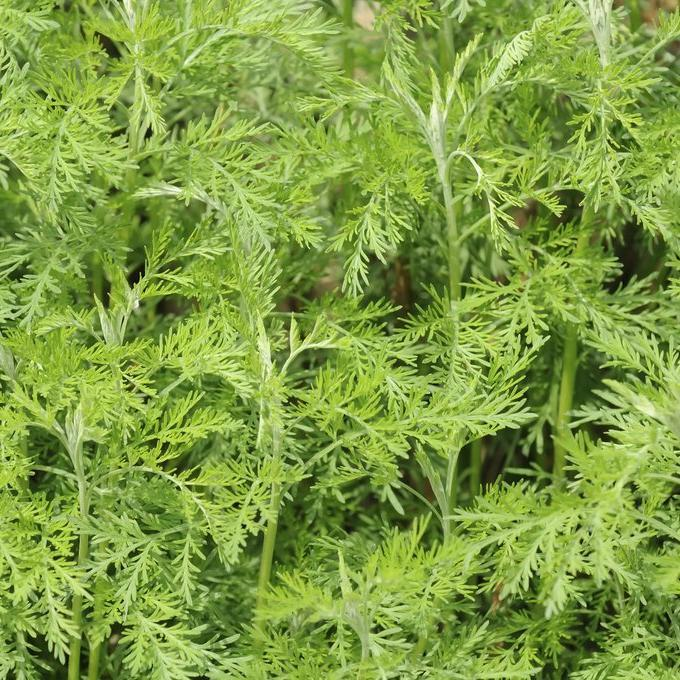 Espèces à feuillage caduc Aurone, armoise citronnelle (Artemisia abrotanum)