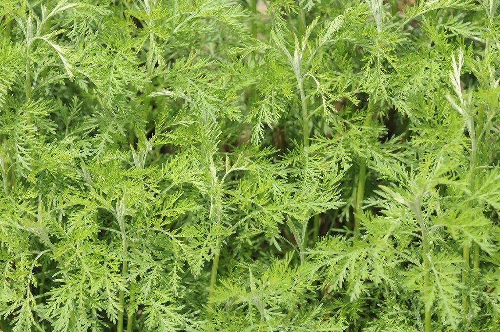 Armoise planter et cultiver ooreka - Planter de la verveine ...