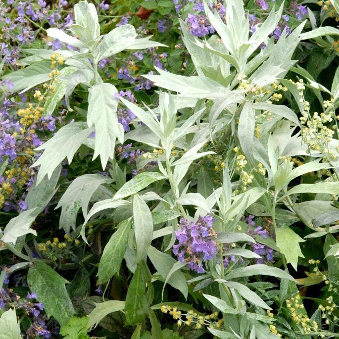 Espèces à feuillage caduc 'Valerie Finnis' (Artemisia ludoviciana)
