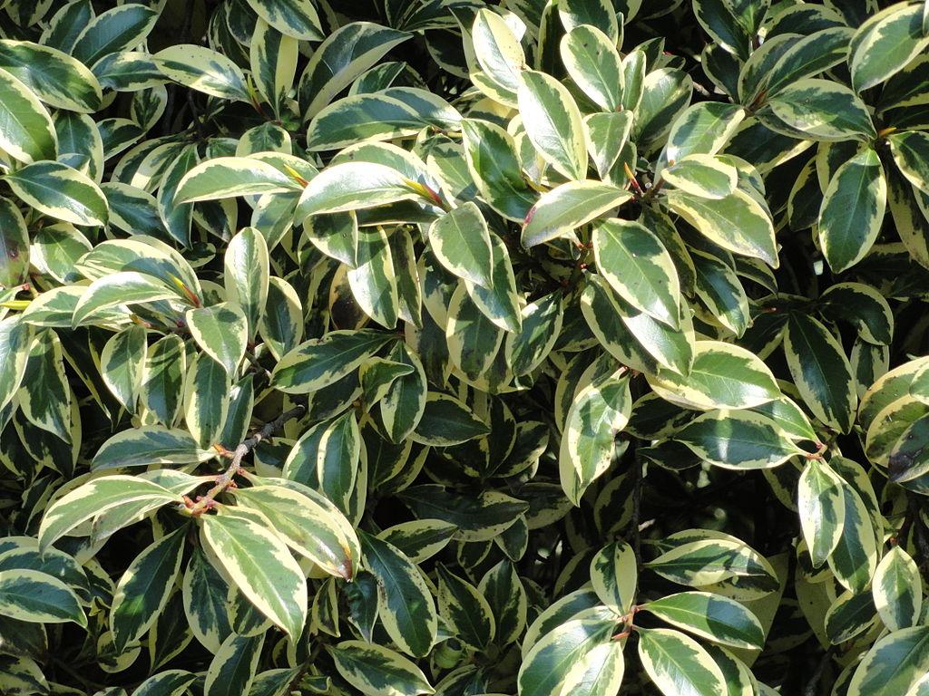 Cleyera planter et cultiver ooreka for Fushia plante interieur ou exterieur