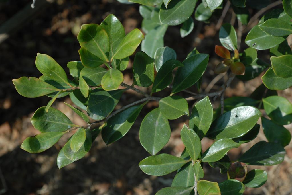 Cleyera Planter Et Cultiver Ooreka