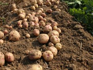 Culture et entretien de la pomme de terre