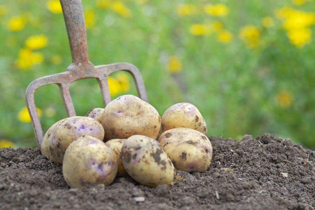 Pomme de terre semer et planter ooreka - Faire germer des pommes de terre ...